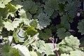 Glechoma hederacea Dappled Light 0zz.jpg