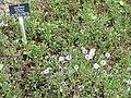 Globularia cordifolia - Botanischer Garten Freiburg - DSC06429.jpg