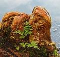 Goed ontwikkelde ademwortels (pneumatoforen) van een moerascipres (Taxodium distichum) op de scheiding van land en water 03.jpg