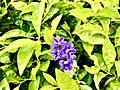 Golden Dewdrop flowers on Kailasagiri.jpg