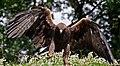 Golden Eagle 8a (6022365791).jpg