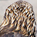 Golden Eagle head from behind.jpg