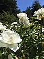 Golden Gate Park Rose Garden 11 2016-06-29.jpg