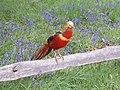 Golden Pheasant in Kew Gardens - geograph.org.uk - 788789.jpg