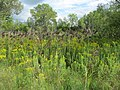Goldenrod and grasses growing wild (6164488378).jpg