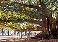 Gomero Ficus elastica, Plaza San Martín.jpg