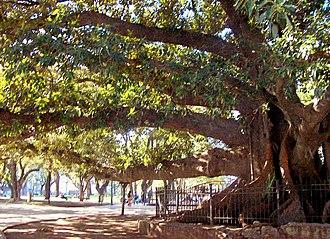 Plaza San Martín (Buenos Aires) - Plaza San Martín's great Ombú tree