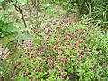Gomphrena globosa Globe Amaranth თავწითელა.jpg