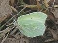 Gonepteryx rhamni ♀ - Common brimstone (female) - Лимонница (самка) (27303396668).jpg