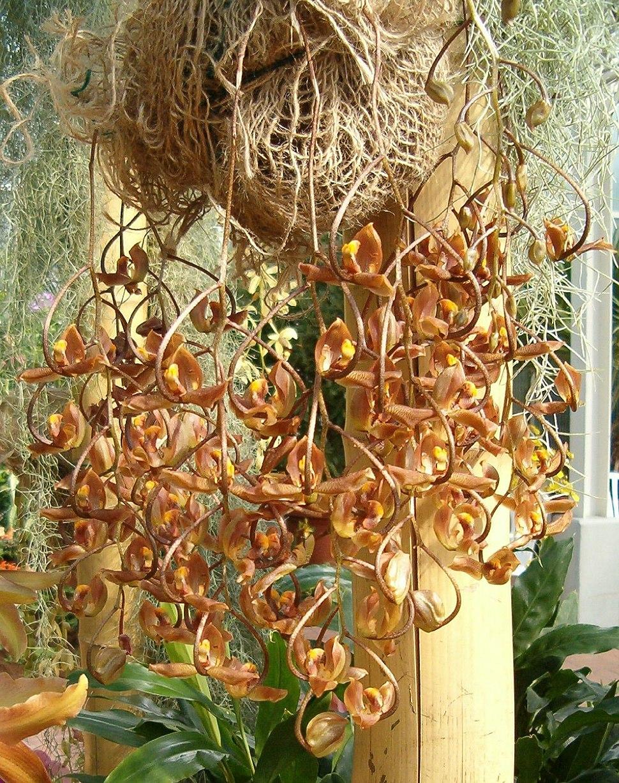 Gongora galeata OrchidsBln0906b