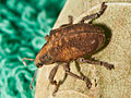 Gonipterus scutellatus from Coira, Portosín, Porto do Son, Galicia, Spain - 20100830-4.jpg