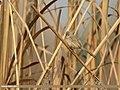 Graceful Prinia (Prinia gracilis) (33480484793).jpg