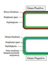 Parede celular de gram-positiva e negativa