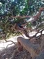 Gran caucho de San Marcos - panoramio.jpg