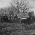 Granada Relocation Center, Amache, Colorado. Ag students cleaning the dairy farm feeding yard. - NARA - 539134.tif