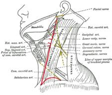 Boční pohled na krk a jeho struktury
