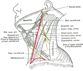 Lesser occipital nerve - Side of neck, showing chief surface markings. (Lesser occip. nerve labeled at center right.)
