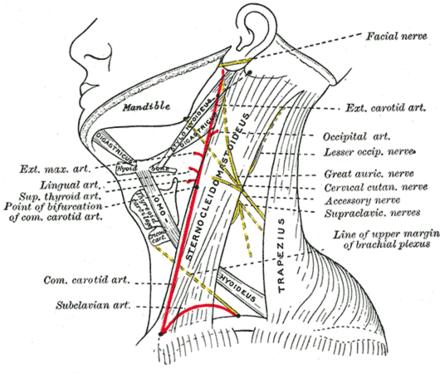 Nervus occipitalis minor - Wikiwand