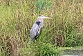 Great Blue Heron Wading in a Pond, Pittsfield Township, Michigan.JPG