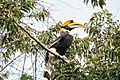 Great Indian Hornbill.jpg