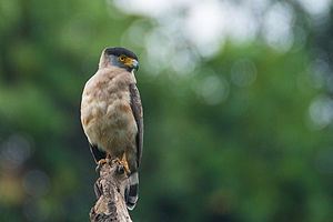 Great Nicobar serpent eagle - Image: Great Nicobar Serpent Eagle (Spilornis klossi) by Shreeram MV