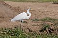 Great egret - Queen Elizabeth National Park, Uganda.jpg
