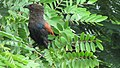 Greater coucal 08.jpg