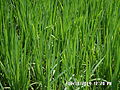Green Paddy Field Beauty.JPG