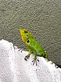 Green camouflage Chameleon looking at me.jpg
