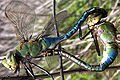 Green darner mating med.jpg