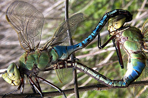 Description de l'image  Image:Green darner mating med.jpg .