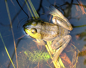 Frog sitting in the sun, on a bed of leaves and submerged in clear water, its eyes above the surface