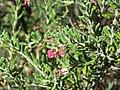 Grevillea lanigera (37578818970).jpg