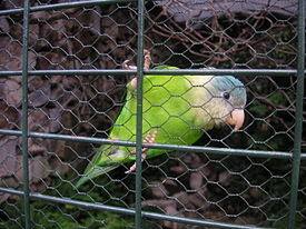 Grey-cheeked Parakeet (Brotogeris pyrrhoptera) captivity.jpg