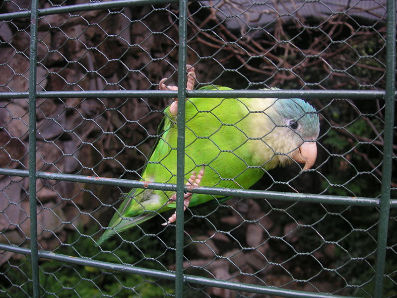 Ficheiro:Grey-cheeked Parakeet (Brotogeris pyrrhoptera) captivity.jpg