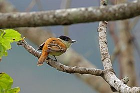 Grey-collared Becard, La Concordia, Mexico (16372461294).jpg