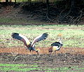 Grey Crowned Crane – Luangwa National Park - Zambia-6.jpg