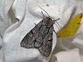Grey Dagger (Acronicta psi) (8336438185).jpg