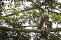 Grey Headed Fish Eagle ( Ichthyophaga ichthyaetus ) (7472702294).jpg