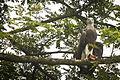 Grey Headed Fish Eagle ( Ichthyophaga ichthyaetus ) (7472702294).jpg