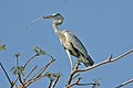 Grey Heron (Ardea cinerea) in Java.jpg