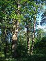 Group of old oaks (Cherkasy region)-4.jpg