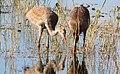 Grus canadensis (Sandhill Crane) 22.jpg