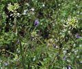 Guillenialasiophylla.jpg
