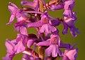 Gymnadenia densiflora - Keila3.jpg
