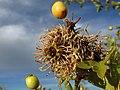 Gymnosporangium sobre frutos de Crataegus (7873051904).jpg