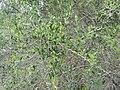Gymnosporia heterophylla - Spikethorn security hedge - Cape Town 1.JPG