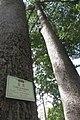 HK CWB 高士威道 Causeway Bay Road 維多利亞公園 Victoria Park tree Sept 2017 IX1 吉貝 Ceiba pentandra trunk 03.jpg