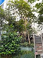 HK SW 上環 Sheung Wan 急庇利街 Cleverly Street Sitting-Out Area trees May 2021 SS2 01.jpg