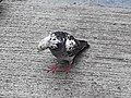 HK SYP 西環 Sai Ying Pun Market 正街 Centre Street 鴿子 pigeons near Third Street April 2020 SS2 26.jpg